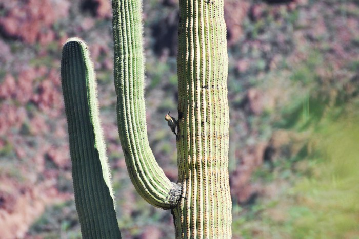 Gila woodpecker climbing up a saguaro cactus in Alamo Canyon