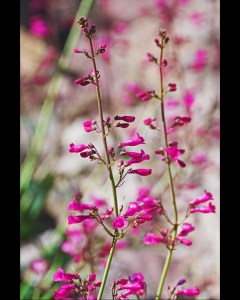Parry's penstemon, a wildflower with deep pink tubular blossoms on spikes by Alamo Creek