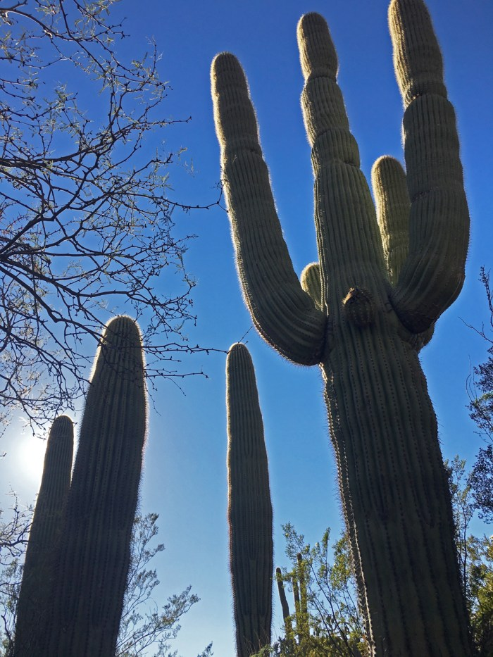 Saguaro cacti against the sky in Estes Canyon