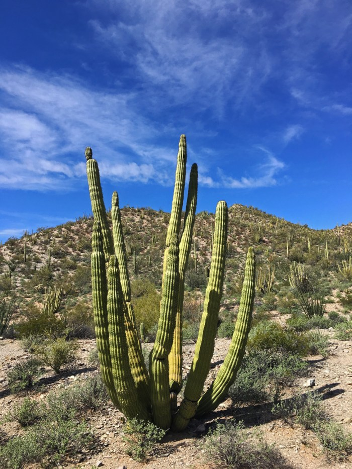 An organ pipe cactus in the Senita Basin