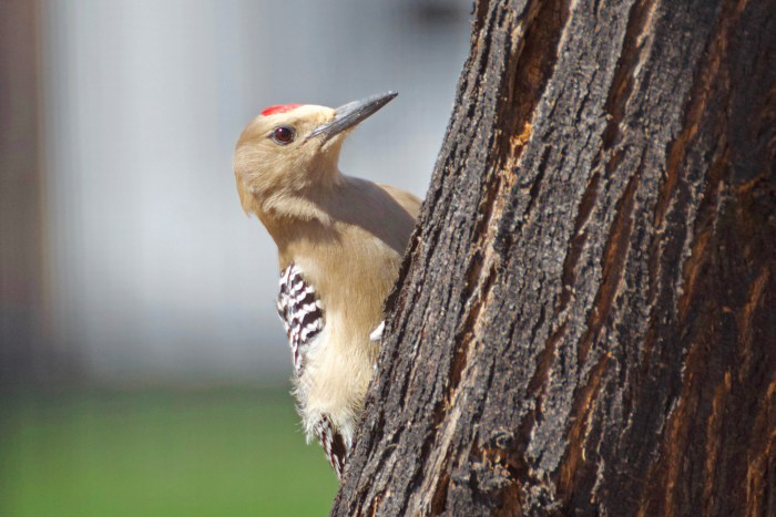 Gila woodpecker on the side of a tree trunk