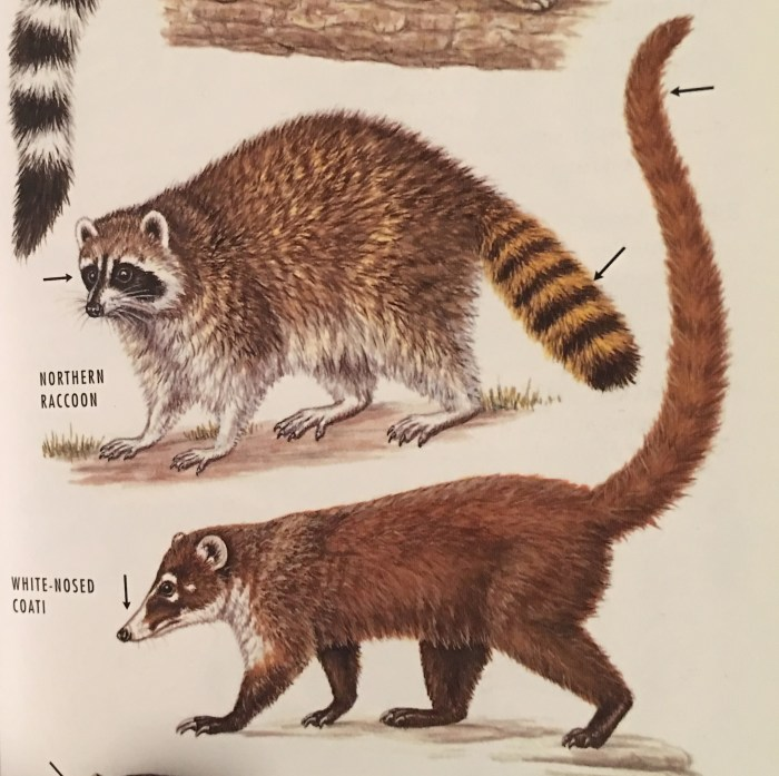 Coati below the raccoon in our Peterson Field Guide to Mammals of North America