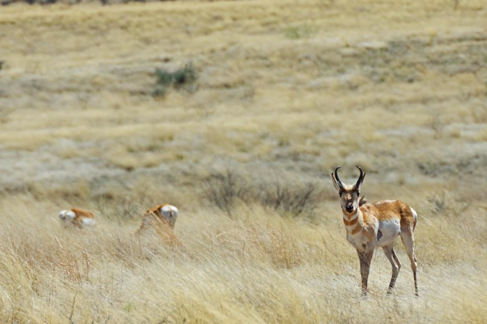 Pronghorn antelope - a closer look