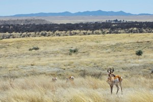Several pronghorn antelope among the grasslands with mesquite and mountains in the distance