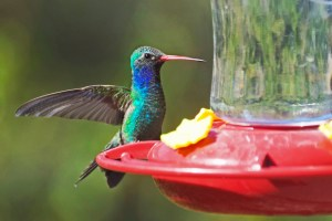 Broad-billed hummingbird on a feeder at Santa Rita Lodge