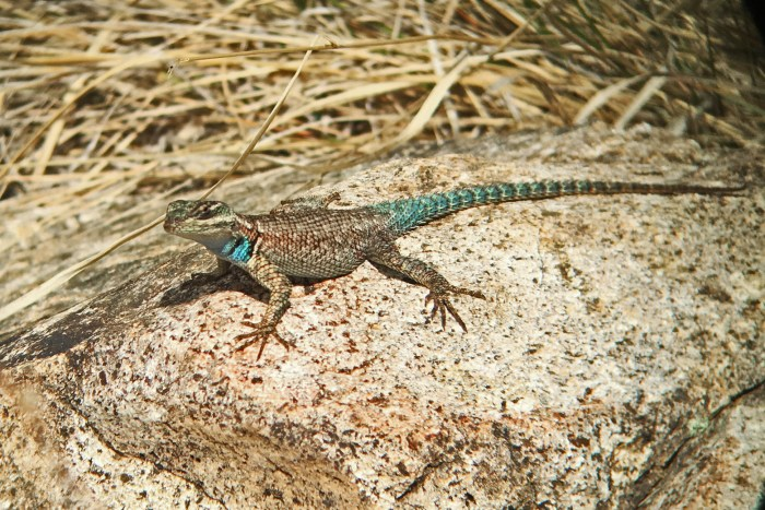 Yarrow's spiny lizard on a rock showing off its bright turquoise collar and tail