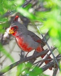 Pyrrhuloxia, a gray and red cardinal-like bird, hiding in a shrub