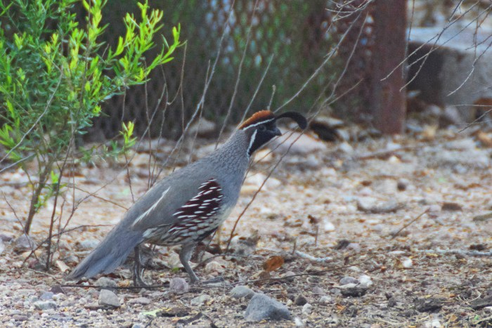 California quail (male) on the ground