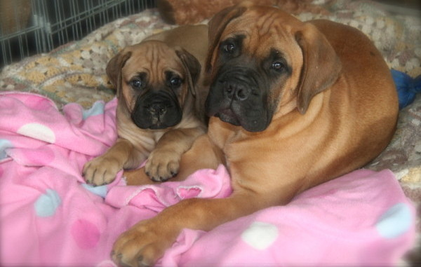 Bramstoke Bullmastiff Puppies