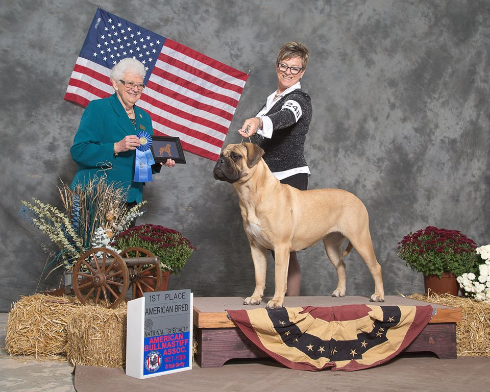 Mrs Beasley, Ch. Squaredeal N Bramstoke's Family Affair Best American Bred at 2014 ABA National Specialty