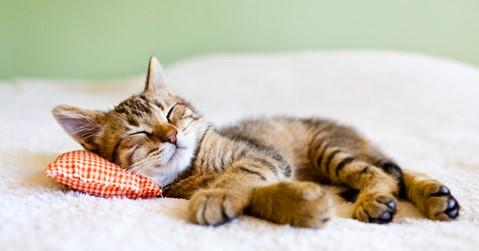 Maca spava