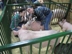 2 students preparing a hog for show