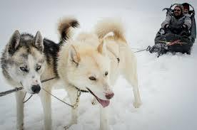 Un attelage qui se compose de 2, 3 ou 4 chiens