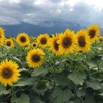 【山梨花の名所】夏に清里・八ヶ岳方面へ行くなら明野サンフラワーフェスのひまわり畑は必見です!