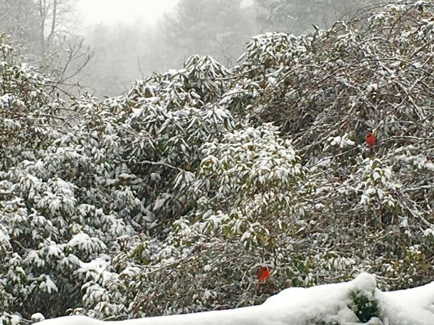 Photo of red cardinals on a snow covered grove of Mountain Laurel and Rhododredron.