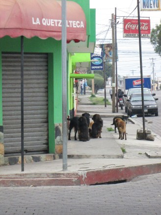 a pack of dogs roaming the streets