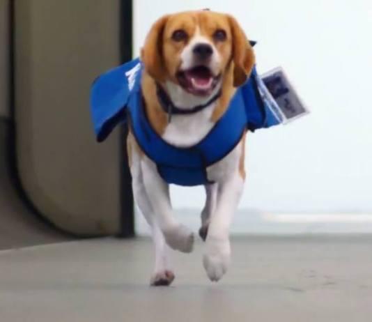 KLM dog viral video