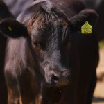 Tesco Farmers to Benefit from New Beef Contracts