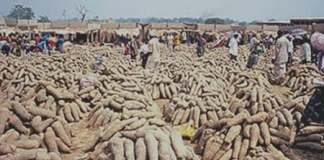 seed yam certification system, Africa, research and development, yam