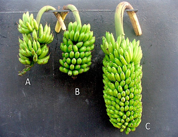 Banana hybrids can more than double the yield of best parents