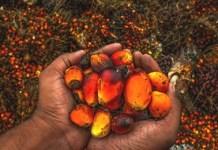Okomu Oil Palm kernel oilseed - The year of the Rubber Brandspurng1
