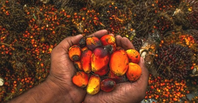 Okomu Oil Palm - The year of the Rubber Brandspurng1