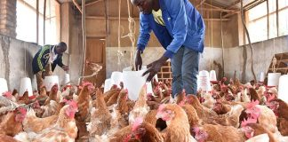 25 Million Nigerians Risk Job Losses Over Poultry Industry Crisis – PAN