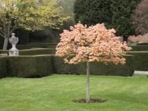 Acer Brilliantissium