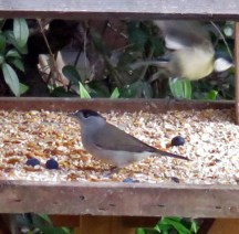 Blackcap on Birdtable