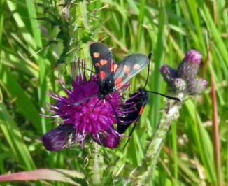 Two Burnett moths on a thistle