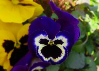 Blue pansy 09042016