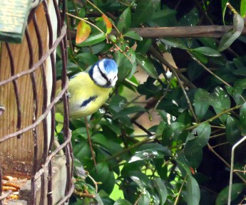 Bluetit 15 Mar
