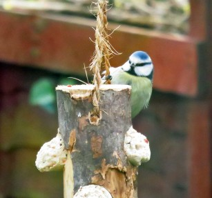 Bluetit on suet