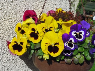Winter pansies 16042016