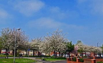 Blossom brightens Ormesby