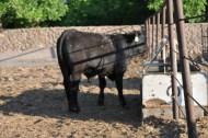 toretes rancho el tarahumar