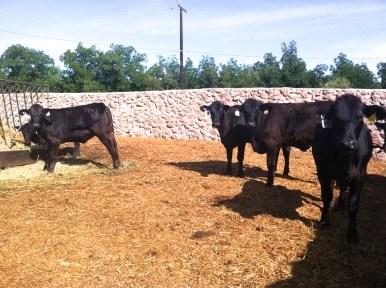 becerras brangus negras de registro rancho el tarahumar