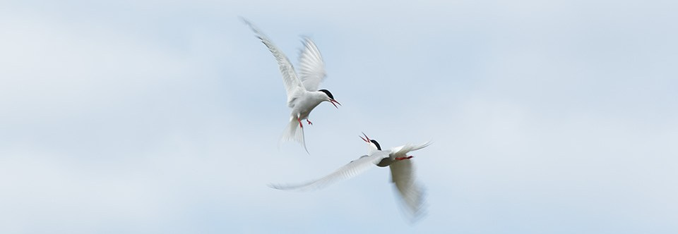 Arctic terns interacting in mid air