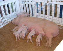 Oregon_State_Fair_pigs