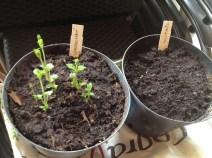 Belles pousses du houblon Strisselspalt et les 4 petits bourgeons blancs du houblon Columbus le 25 mars 2016