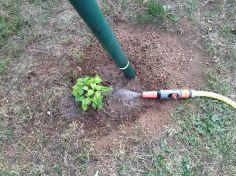 Dans le jardin de la Brasserie du Vallon, le houblon Tradition en automne 2015