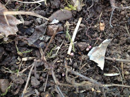 Premiers bourgeons du houblon Fuggle le 10 mars 2016