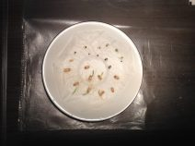 Expérience de jardinage 1 - faire germer des graines de blé de de sorgho