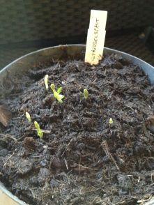 Les 6 petites pousses du houblon Strisselspalt le 10 mars 2016