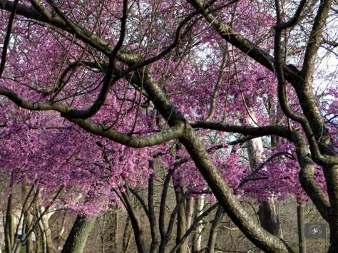 brandywine dogwood trees