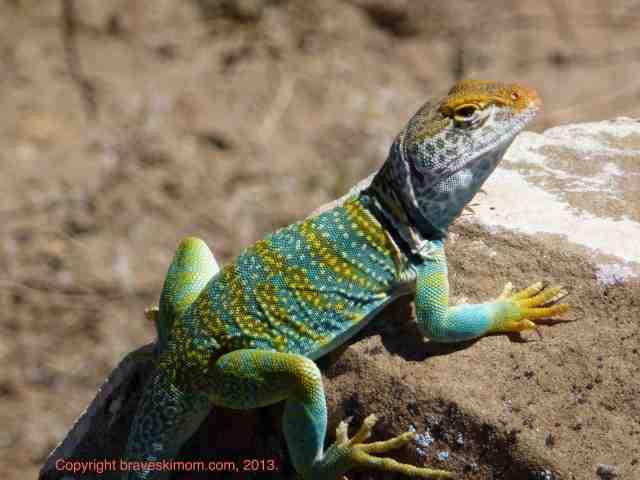 collared lizard colorado desert