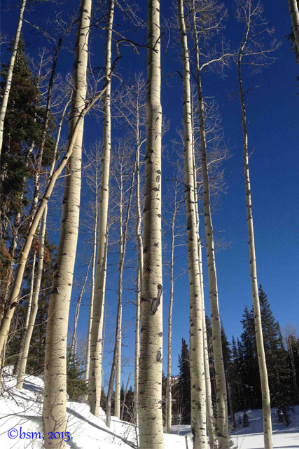 aspen trees snowmass