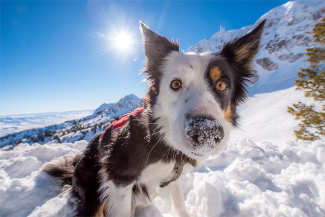 snowbasin-avalanche-dog-jiggs