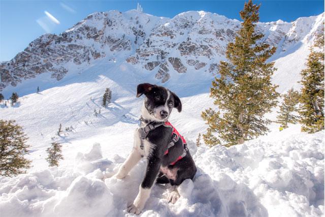 flint-avalanche-dog-snowbasin