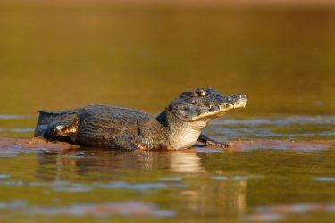 Caiman , the symbol of Pantanal